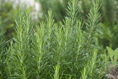 Young fresh rosemary growing in the garden. Rosmarinus officinal. Young fresh rosemary growing in the garden Stock Images