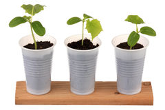 Young fresh seedling. Three young fresh seedling stands in plastic pots Stock Images