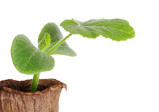 Young fresh seedling in peat pots isolated over white Stock Photography