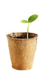 Young fresh seedling stands in peat pot. On a white background Stock Image