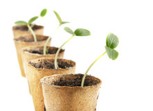 Young fresh seedling stands in peat pots Royalty Free Stock Photography