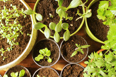 Young fresh seedlings Royalty Free Stock Photography
