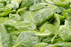 Young fresh spinach Stock Images