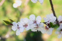 Young fresh spring cherry blossom flowers close-up on bokeh back stock photography