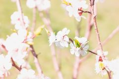 Young fresh spring cherry flowers close-up on bokeh blur background stock images