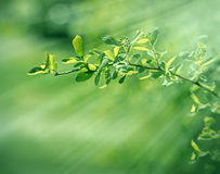 Young fresh spring leaves early in morning Stock Image