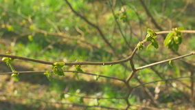 Young fresh spring leaves trembling on the wind. Thin tree branch with fresh green leaves on nature background. Sunny. Young fresh spring leaves trembling on the stock video