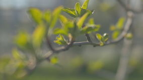 Young fresh spring leaves trembling on the wind. Thin tree branch with fresh green leaves on nature background. Sunny. Young fresh spring leaves trembling on the stock footage