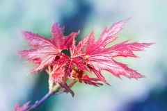Young fresh spring red maple leaves on colourful bokeh background stock photos
