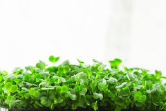Young Fresh Sprouts of Potted Water Cress Growing Indoors on Kitchen Window-Sill. Soft Daylight White Curtain in the Background. Gardening Healthy Plant Based Stock Photography