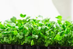 Young Fresh Sprouts of Potted Water Cress Growing Indoors on Kitchen Window-Sill. Soft Daylight White Curtain Gardening. Young Fresh Sprouts of Potted Water Royalty Free Stock Photos