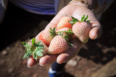 Young fresh strawberry in woman hand Royalty Free Stock Images