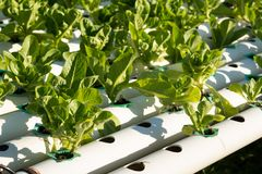 Organic hydroponic vegetable cultivation farm. Young and fresh vegetable green color in white tray in hydroponic farm for health market Royalty Free Stock Image