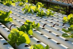 Organic hydroponic vegetable cultivation farm. Young and fresh vegetable green color in white tray in hydroponic farm for health market Stock Image