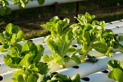 Organic hydroponic vegetable cultivation farm. Young and fresh vegetable green color in white tray in hydroponic farm for health market Royalty Free Stock Photo