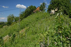 Young fresh vineyard in summer time Royalty Free Stock Photography