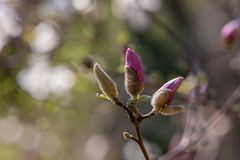 Young fresh violet flower buds of magnolia. Young and fresh violet buds shooting on a twig in springtime on blurred background Stock Photo
