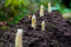 Young and fresh white asparagus - growth on cultivated fields, f Stock Images