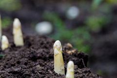 Young and fresh white asparagus - growth on cultivated fields, f Royalty Free Stock Image