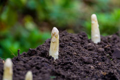 Young and fresh white asparagus - growth on cultivated fields, f Stock Image