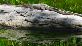 Young freshwater crocodile warms himself on a log tree Royalty Free Stock Images
