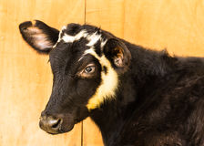 Young Friesian Cow in Farm Stock Photos