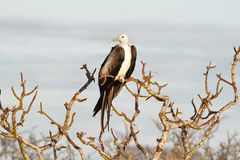 Young frigate bird in in North Seymour Royalty Free Stock Photos