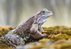 Young frog. Royalty Free Stock Photos