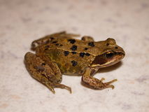 Young Frog. Young common frog on a white-ish background royalty free stock photos