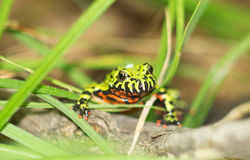 Young frog in a grass. Stock Photography