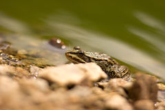 Young frog Royalty Free Stock Image