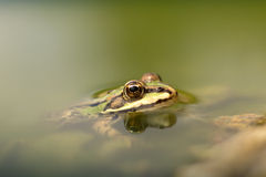 Young frog Royalty Free Stock Images