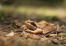 Young frog Royalty Free Stock Photo