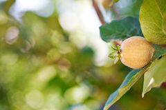 Young fruit on quince tree Royalty Free Stock Photo
