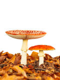 Young and fully grown fly agaric mushroom isolated on white. Young and fully grown fly agaric toadstool with autumn leaves isolated on a white background Stock Photos