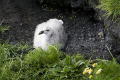 Young fulmars in a nest Royalty Free Stock Photos