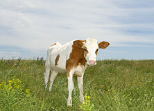 Young fun cow at the meadow in summer day Stock Image