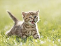 Kitten meowing in the green grass. Young funny cat meowing in the green grass Royalty Free Stock Photo