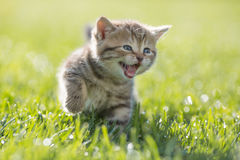 Young funny cat meowing outdoor Royalty Free Stock Image
