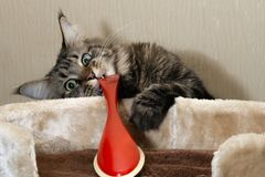 young funny cat playing with a red brush royalty free stock images