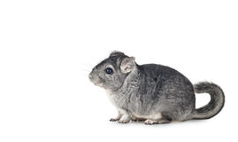 Young funny Chinchilla. On white background, with copy space for text Stock Photography