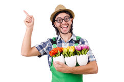 Young funny gardener with tulips isolated oin Royalty Free Stock Photography