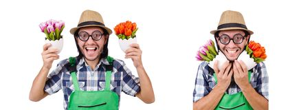 The young funny gardener with tulips isolated oin white royalty free stock photos