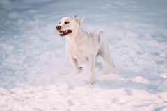 Young funny labrador dog running playing outside in winter snow. Royalty Free Stock Photography