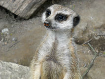 Young, funny meerkat in a zoo Royalty Free Stock Images