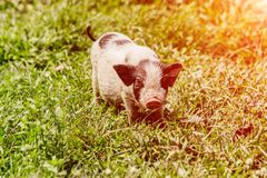 Young funny pig on a spring green grass. Young funny pig on a spring green grass royalty free stock images