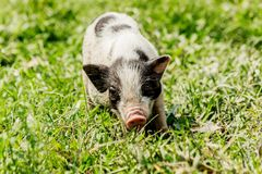 Young funny pig on a spring green grass.  stock image