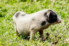 Young funny pig on a spring green grass. Young funny pig on a spring green grass stock photos