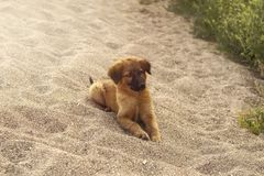 Young funny puppy. Lies on the sand on the beach Stock Images