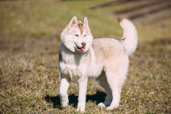 Young Funny White Husky Puppy Dog With Blue Eyes Play Outdoor Stock Images